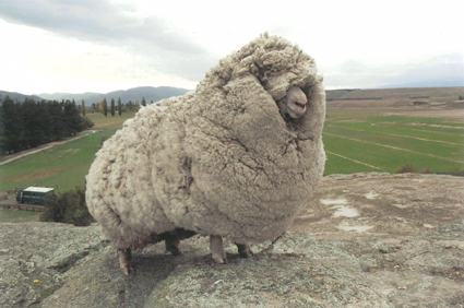 ahoycaptainsteve:   An escaped sheep was found with 60 pounds of wool. Shrek the sheep ran away and hid in a cave in New Zealand for 6 years. When Shrek was finally found in 2004, the sheep had gone unsheared for so long that it had accumulated 60 pounds of wool on its body, enough to make 20 suits! The sheep became famous and even got to meet the Prime Minister. Shrek finally passed away last month at the age of 16.