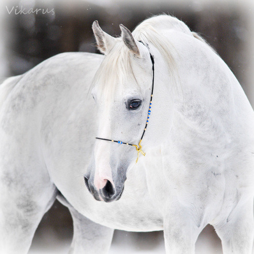 White arabian 2 by ~Vikarus on We Heart It. http://weheartit.com/entry/7008597