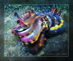 "oceansoftheworld:  (Photo by Neil Liddle) Pfeffer's flamboyant cuttlefish, (Metasepia pfefferi) displays stunning changing colors and patterns and actually ""walks""  along the bottom of the sea (the only one known to do so). M. pfefferi has a maximum mantle length of 6-8 cm with 3 pairs of flap-like fleshy papillae (fleshy nipple-like  protuberances) and a V-shaped ventral (underside) fleshy ridge. This  cuttlefish also has large violet oblique V-shaped patches on both sides  of the dorsal mantle. Papillae are also present over the eyes. The  papillae are used for camouflage to break up the outline of the  cuttlefish. Pfeffer's flamboyant cuttlefish undergoes incredible color changes  possible due to three types of structures contained within its skin,  called chromatophores, leucophores and iridophores, which are small  structures filled with colored ink which can be rapidly expanded and  contracted to communicate or are used as camouflage within its habitat.  These structures allow the cuttlefish to rapidly reflect a myriad of  colors and change the textures of their skin. (Source)"