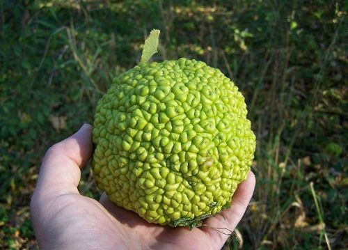 The Osage Orange Tree, Maclura pomifera. another tree with a large, large seeded fruit that was dispersed by Pleistocene Megafauna, like Gomphotheres and Giant Ground Sloths.  This tree is currently found in east Texas, SE Oklahoma, and western Arkansas in the United States. It has been historically propagated by humans in North America for its wood (which was commonly used to make bows), and for use as a hedge row tree by ranchers and farmers. (photo: Bruce Marlin)