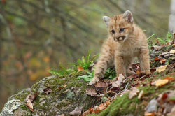 llbwwb:  cougar cub, photo by Mike Lentz @frontier.net.net