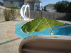 rhamphotheca:   Angle-wing Katydid (Microcentrum rhombifolium), north Texas, USA (photo: Wadems)