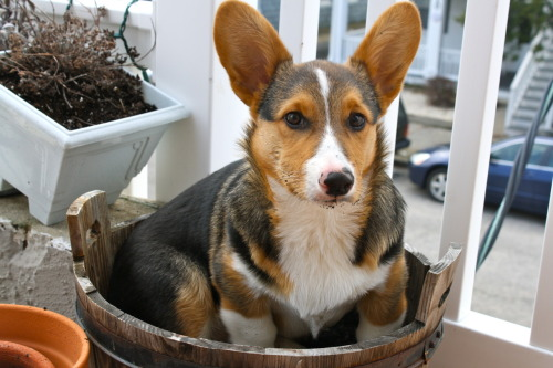I often get asked - Where do Corgis Come From?  Sir answers that age old riddle.