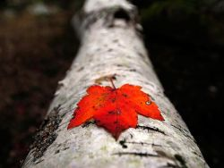wandery:  Fallen Maple Leaf - National Geographic
