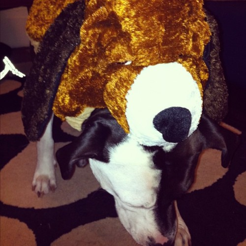 #twoheadeddog #doubledog #pet #dog #Halloween #costume #dogdressedasdog #dogondog #best  (Taken with instagram)