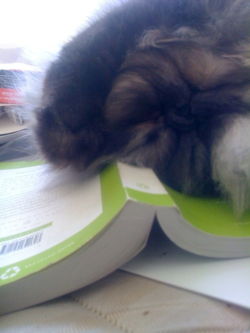 My darling Persian, Rufus, even steals my books. Dawwwwww.  That's one fluffay kitty!  thanks for the submission! =^.^=