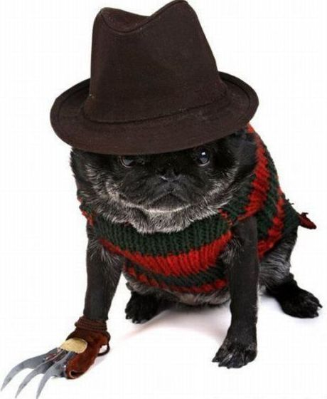 pj85:  Awesome pug costume.  penny has been bitchier than usual lately (probably because i have to work late and shit) so this is her GPOYW for this week.