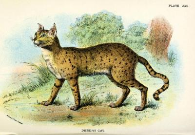 Desert Cat The desert cat was ubiquitous in Egypt when it was settled by the first agricultural humans, thousands of years before recorded history. For a while, since the desert cat (and other cat species) did not compete with them for food or try to eat them, humanoids invited them to come around and did not attack them. The cats controlled the mice and snakes that frequented the valuable granaries and got easy meals; humanoids got grain that wasn't spoiled or consumed by rats and mice, and were not threatened by the snakes that came around to eat them. Though cats did not contribute significantly to the actual survival of humans, they were still seen as intelligent, motherly, a manifestation of fertility and protection, and loved as much as relatives.  When a cat belonging to someone died (as opposed to the semi-ferals that still wandered the granarie,s long after domestication), they were expected to go into the same level of mourning as proceeding the death of an immediate family member, including shaving off their eyebrows, somber dress, and (if they could afford it) commissioning their cat to be mummified. Handbook to Carnivora. Part I: Cats, Civets, and Mungooses. Richard Lydekker, 1896.