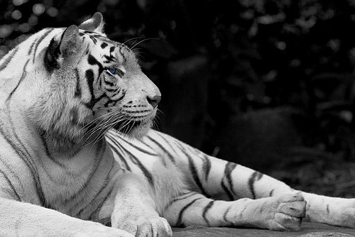 sweetannasour:  White Tiger in BW (by Ljung Oso)