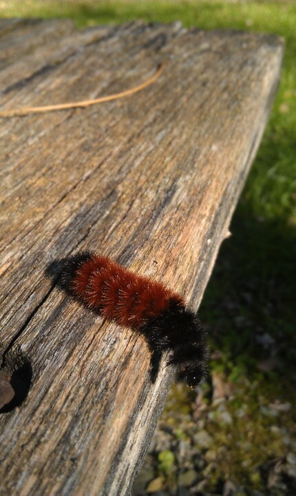 I'm just a fuzzy woolly bear (Photo by thisoldfox)