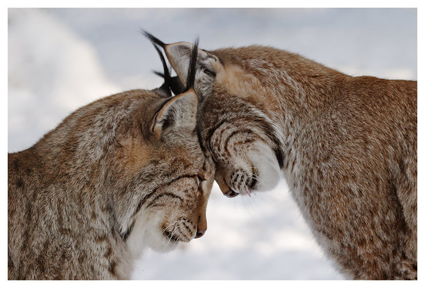 llbwwb:  Bobcat Love by  JG