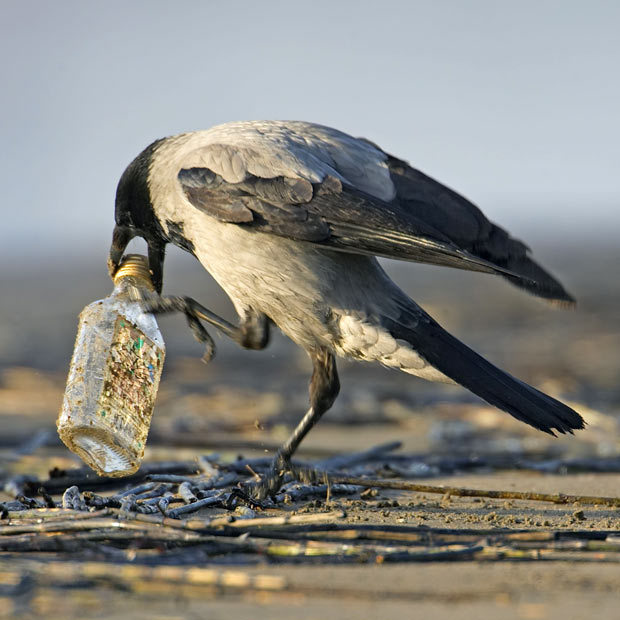 allcreatures:  Hooded Crow (Corvus corone cornix) trying to open a bottle, Liminka, Finland Picture: Markus Varesvuo / Rex Features (via Magic moments: beautiful photographs of birds by Markus Varesvuo - Telegraph)