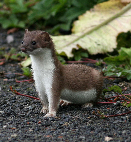 animals-animals-animals:  Stoat (Juvenile) (by Hilary Chambers)