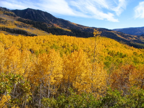 "Populus tremuloides - Trembling Aspen colony ""As all trees in a given clonal colony are considered part of the same organism, one clonal colony, named Pando, is considered the heaviest and oldest   living organism at six million kilograms and approximately 80,000 years old. A"""