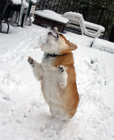 They call me MR SNOW CORGI! Fear my wrath. Also, nom.