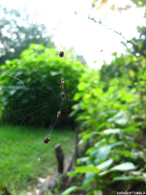 Photo: Someone's dinner. A Orb Weaver Spider's web that spans my side yard's arbor and a Butterfly Bush. She's caught a lot of delicious things. Taken September 13th 2011.