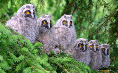 123zero:  (via Long-eared Owl (Asio otus) juveniles)