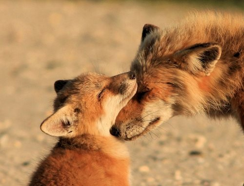 Foxes are so gorgeous. I think the fact that their babies are called kits is almost as adorable as the kits themselves.