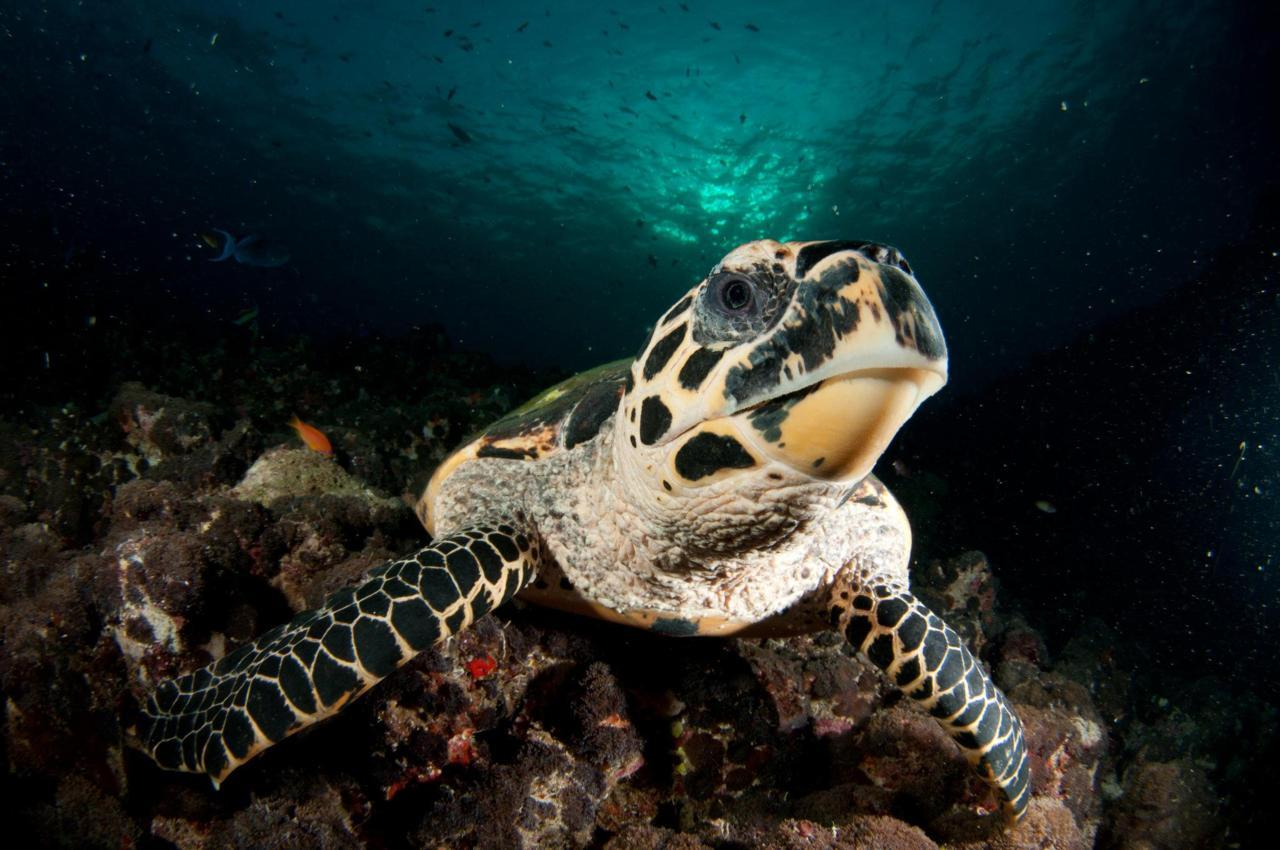 A critically endangered Hawksbill Sea Turtle (Eretmochelys imbricata) by Dave Bretherton. Within the sea turtles, E. imbricata has several unique anatomical and ecological traits. It is the only primarily spongivorous reptile. Because of this, its evolutionary position is somewhat unclear. Molecular analyses support placement of Eretmochelys within the taxonomic tribe Carettini, which includes the carnivorous loggerhead and ridley sea turtles, rather than in the tribe Chelonini, which includes the herbivorous green turtle. The hawksbill probably evolved from carnivorous ancestors.[