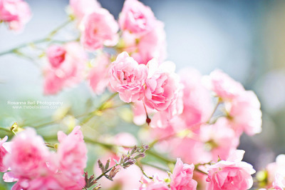 bitznpieces:  Autumn Roses - Day 270/365 (by Rosanna Bell)