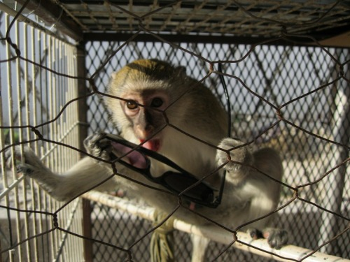 The monkey in China Village, Oshikango… with my sunglasses