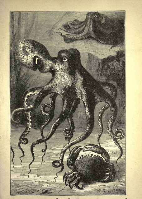 n448_w1150 by BioDivLibrary on Flickr. Common Octopus Forest and jungle, or, Thrilling adventures in all quarters of the globeChicago ;The Werner Company,1896.biodiversitylibrary.org/item/65833