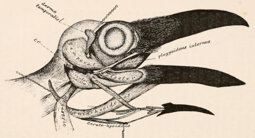 biomedicalephemera:  Bones and Muscles of the Head of the Raven The Myology of the Raven, a Guide to the Study of the Muscular System in Birds. R. W. Shufeldt, 1890.
