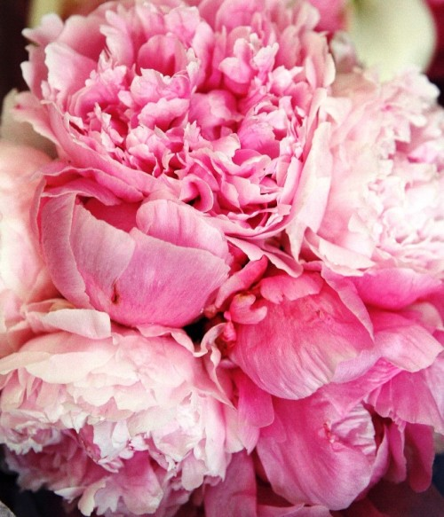 nisfornabillah:  youth-lagoon:  peony roses, so pretty!  (via imgTumble)