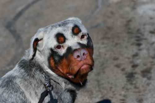 vastderp:  thesearedogs:  A Rottweiler with a rare but striking case of vitiligo. These dogs should never be purposely bred as this is an autoimmune issue.  Shaggy 2 Dog?