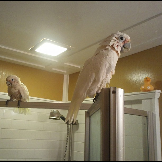 Two drenched cockatoos and a rubber duck. #cockatoo #bird #pet #petsagram #rubberduck #wet #shower #goodmorning  (Taken with instagram)
