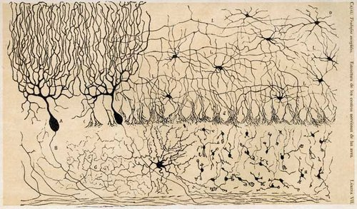 Dig it. Neuron Doctrine.  Santiago Ramón y Cajal (1852-1934)