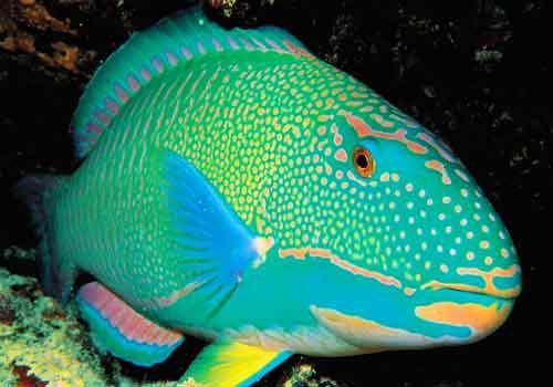 ohscience:  rainbow parrotfish