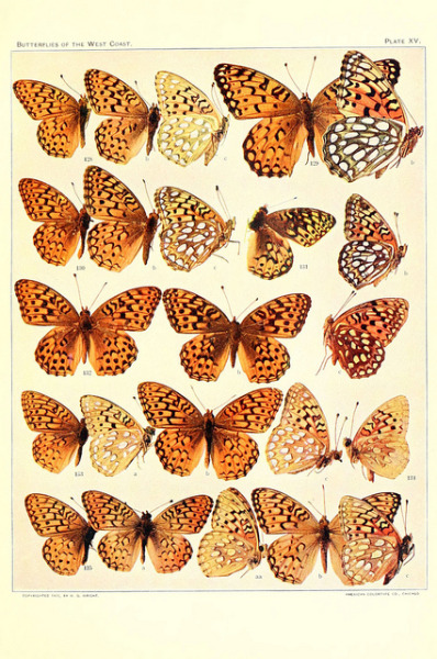 dendroica:  n176_w1150 by BioDivLibrary on Flickr.Via Flickr: The butterflies of the West Coast of the United States San Bernardino, Calif. :Wright,1906, c1905.biodiversitylibrary.org/item/37423