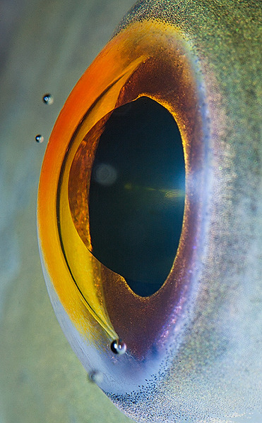 flavorpill:  Suren Manvelyan's photograph of a fish's eye. Other amazing close-up eye photos here.   I've always thought fish eyes were beautiful, I'm glad this photo really clearly communicates what I see normally.