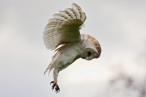 Barn Owl (by zoe radha)