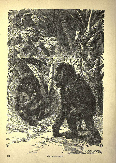 n239_w1150 by BioDivLibrary on Flickr. Orang-Outang Forest and jungle, or, Thrilling adventures in all quarters of the globeChicago ;The Werner Company,1896.biodiversitylibrary.org/item/65833