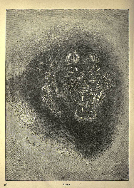 n353_w1150 by BioDivLibrary on Flickr. Tiger
