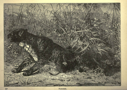 n439_w1150 by BioDivLibrary on Flickr. Panther Forest and jungle, or, Thrilling adventures in all quarters of the globeChicago ;The Werner Company,1896.biodiversitylibrary.org/item/65833