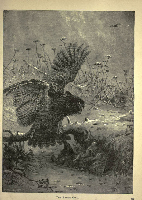 n444_w1150 by BioDivLibrary on Flickr. The Eagle Owl Forest and jungle, or, Thrilling adventures in all quarters of the globeChicago ;The Werner Company,1896.biodiversitylibrary.org/item/65833