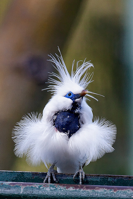 fat-birds:  Bali Mynah by cm2852 on Flickr.  I love this goofy little bird