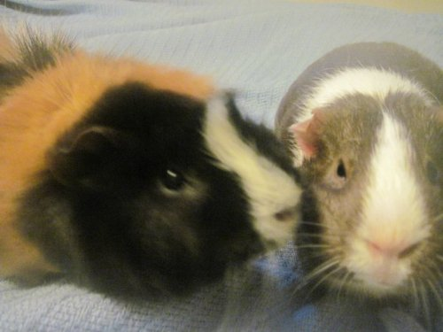 guineapiggies:  Submitted by empress2011
