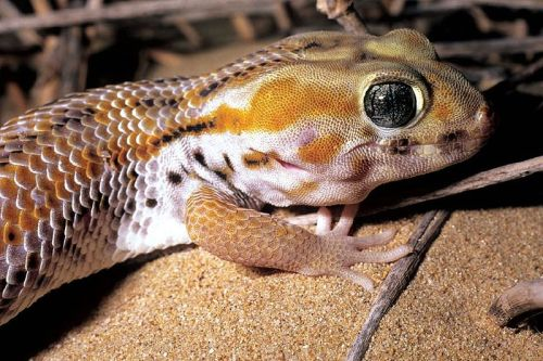 Persian Wounder Gecko (Teratoscincus scincus keyserlingii), near Jebel Ali, Duba (photo: Andrew S. Gardner)