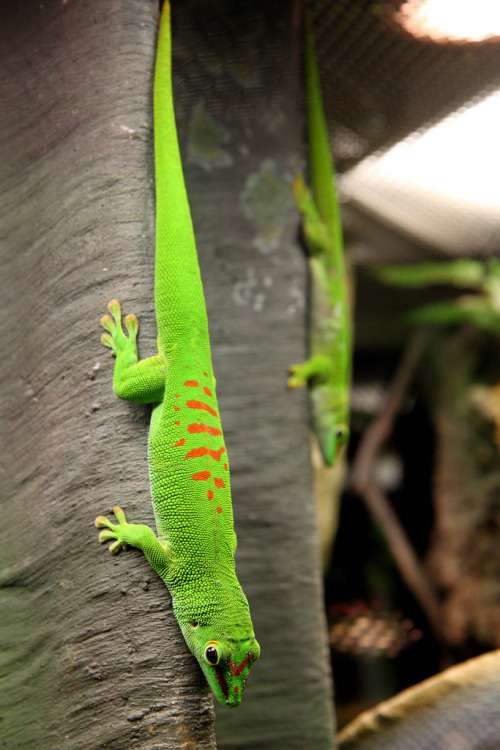 "Giant Day Geckos (Phelsuma madagascariensis grandis) in the exhibit ""Geckos: Tails to Toepads"" at the National Geographic Museum, in Washington, DC. (photo: Mr. T in D.C.)"