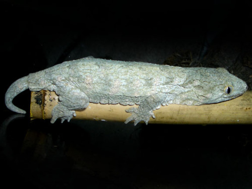 "New Caledonian Giant Gecko (Rhacodactylus leachianus), is a large species of gecko first described by Georges Cuvier in 1829. R. leachianus is a nocturnal arboreal species of gecko. They are endemic to the island of New Caledonia. They eat insects and fruit, and occasionally consume smaller lizards and in captivity may eat newborn mice. Many of the locals in New Caledonia call this gecko ""the devil in the trees"" because of the growling noises it makes… (read more: Wikipedia)  (photo: Alfeus Liman)"