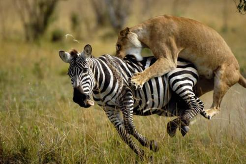thebigcatblog:  This dramatic photograph of a lioness hunting a zebra captures one of  nature's most primal moments. Award winning photographer John Reiter  took the picture on the plains of the Maasai Mara National Park in  Kenya. Picture: John Reiter / Barcroft USA  OM NOM NOM!