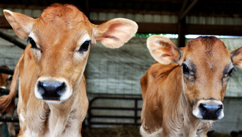 Why livestock antibiotics are making your family sickUsing antibiotics on farm animals creates super-bacteria that are resistant to drugs, making it more difficult for you and your family to recover from that cold.
