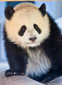 fuckyeahgiantpanda:  Po at the Atlanta Zoo on October 2, 2011. © David Lilienthal.