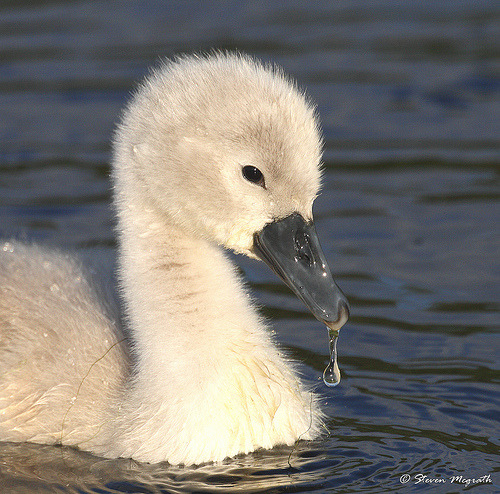 Cygnet and water drop (by glesgastef)