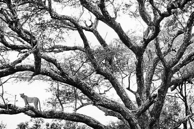 A leopard is seen in a tree in Elephant Plains, South Africa. Leopard tend to prefer trees with dense foliage for concealment Picture: Heinrich van den Berg/Gallo Images/Barcroft Media