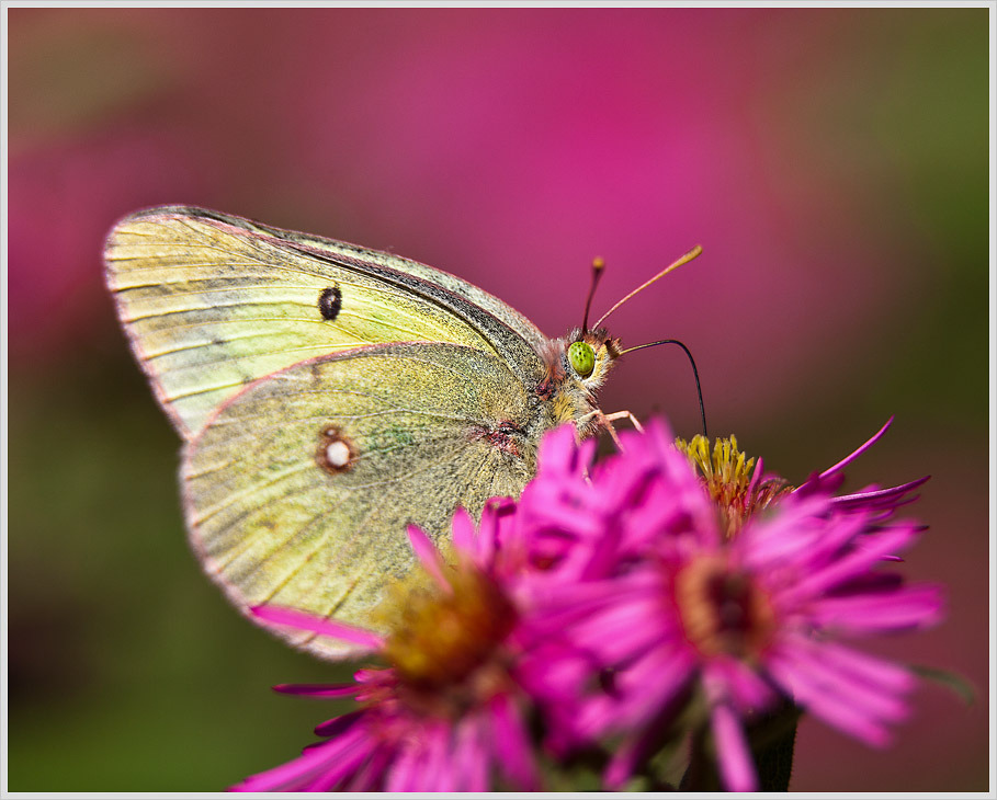 A Clouded Sulfur butterfly drinking in the last few drops of nectar in Minnesota's waning Indian Summer.